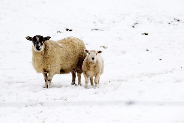 Baca to osoba, której gazdowie powierzają swoje owce na letni wypas na górskich halach. /AFP
