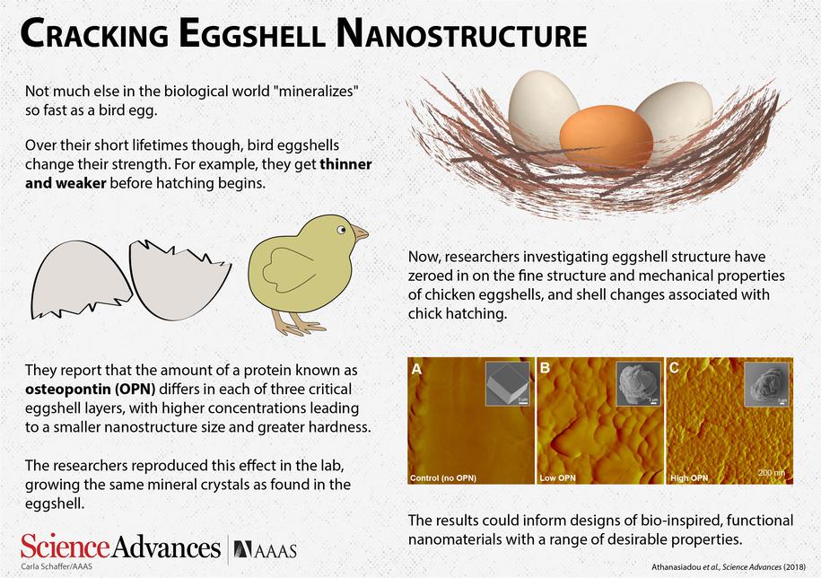 Badania nanostruktury skorupek kurzych jaj /Carla Schaffer/ AAAS /Materiały prasowe