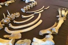 Badanie kości nosorożca sprzed 100 tys. lat potrwa kilka lat