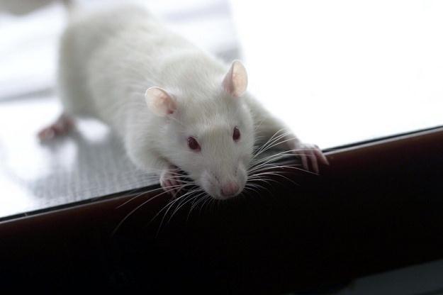 Badanie polegające na obcinaniu szczurom głów nie wygląda na estetyczne, fot. Andrzej Wawok /Reporter
