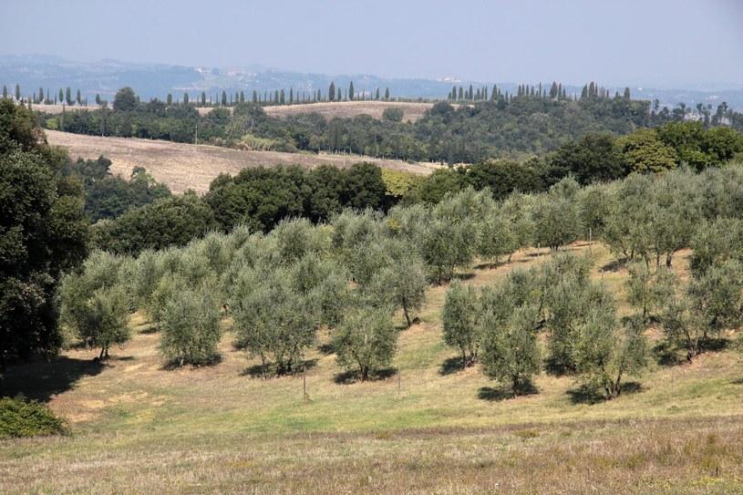 Bakteria zaatakowała około miliona drzewek /123RF/PICSEL