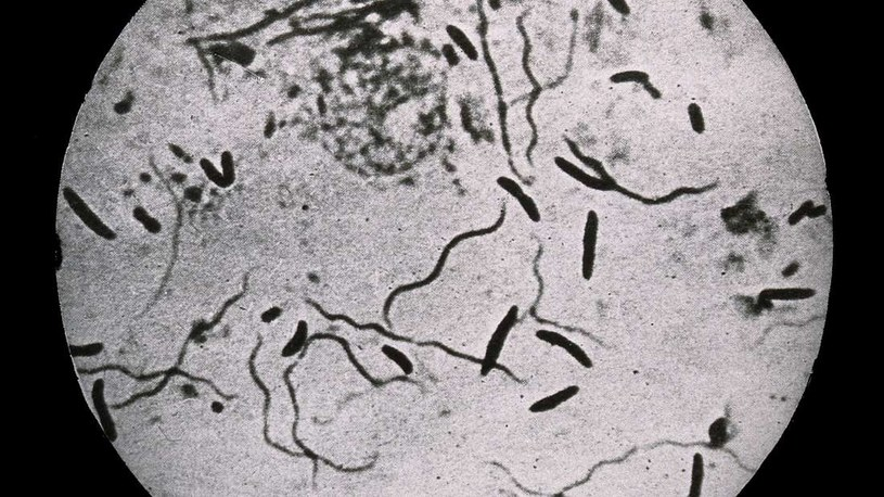 Bakterie Bacillus subtilis mogą wejść w niezwykły stan zombie /materiały prasowe