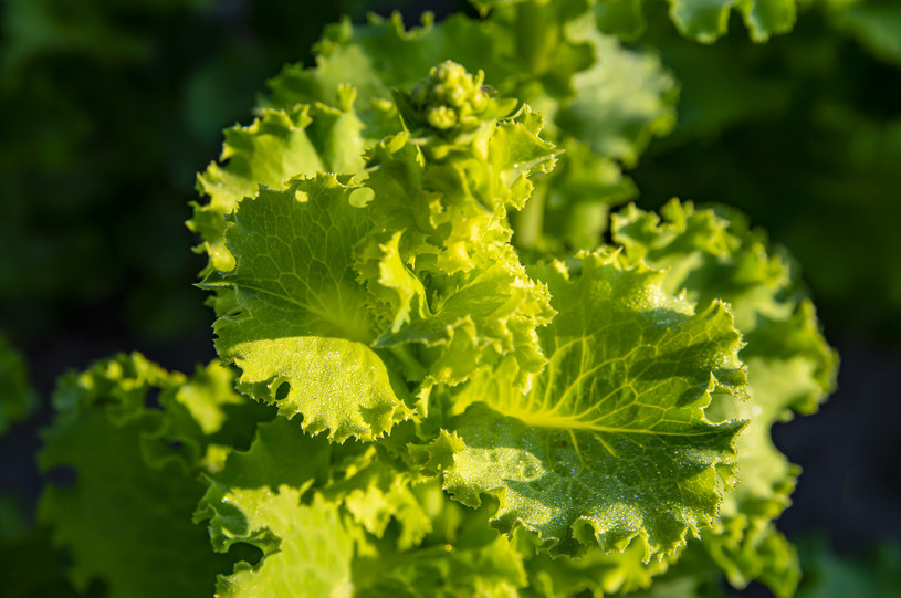 Bakterie Salmonelli mogą wnikać do wnętrza roślin, a z nimi do naszych organizmów /123RF/PICSEL
