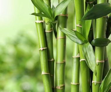 Bambus w ogrodzie: Uprawa i charakterystyka