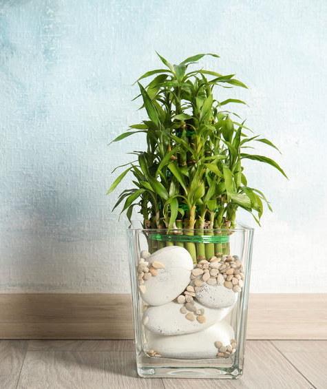 Bambusa można uprawiać w wodzie /©123RF/PICSEL