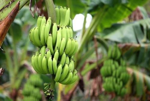 Banany; zdj. ilustracyjne /Value Stock Images /East News