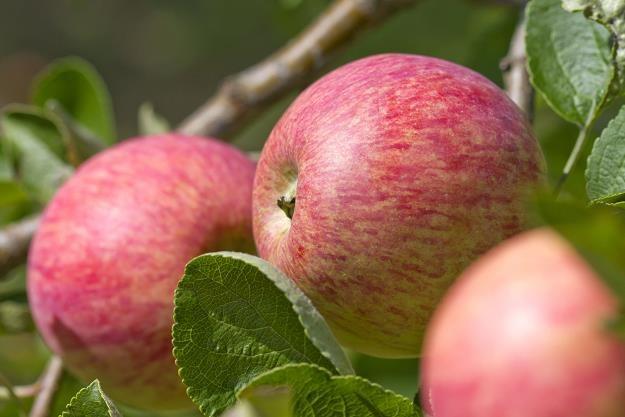 Banki żywności chcą przetwarzać jabłka objęte embargiem np. na mus, dżemy czy dania gotowe /©123RF/PICSEL
