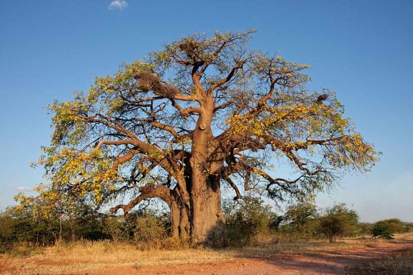 Baobab afrykański /materiały prasowe