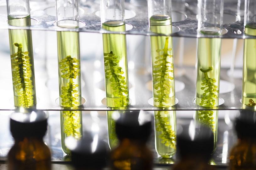 """""""Bardziej ekologiczny plastik"""" będzie wytwarzany z alg? /123RF/PICSEL"""