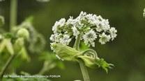 Barszcz sosnowskiego - jedna z najbardziej toksycznych roślin