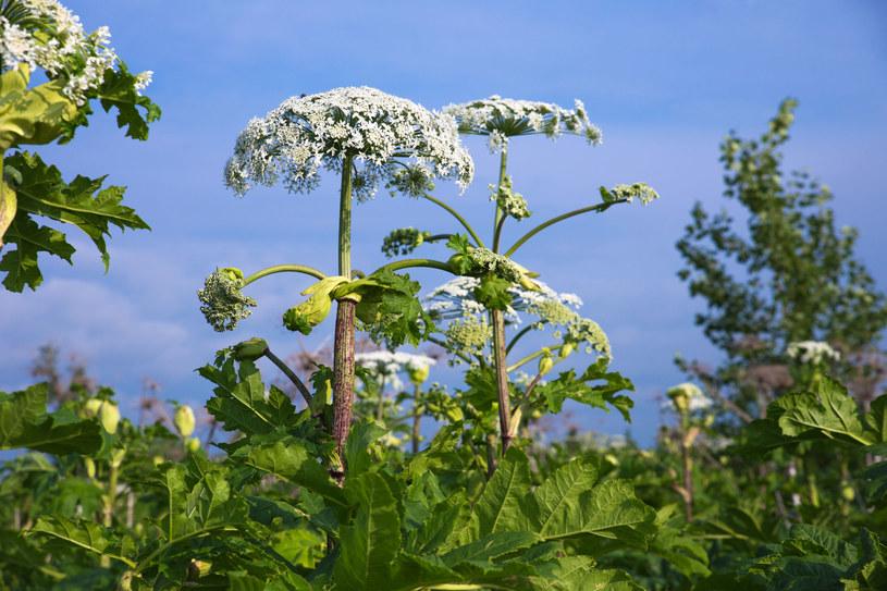 Barszcz Sosnowskiego to wyjątkowo groźna roślina /123RF/PICSEL