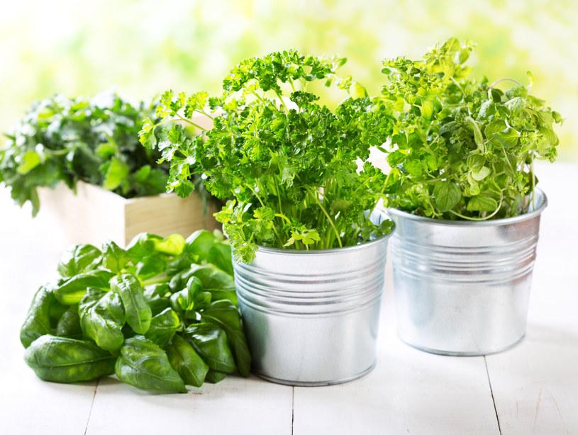 Bazylię śmiało można posadzić z innymi ziołami. Pamiętajmy jednak wtedy o większej doniczce /123RF/PICSEL