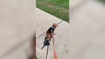 Beagle w końcu mógł się zobaczyć ze swoją koleżanką