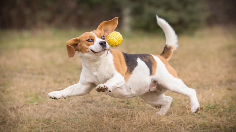 Beagle /123/RF PICSEL /123RF/PICSEL