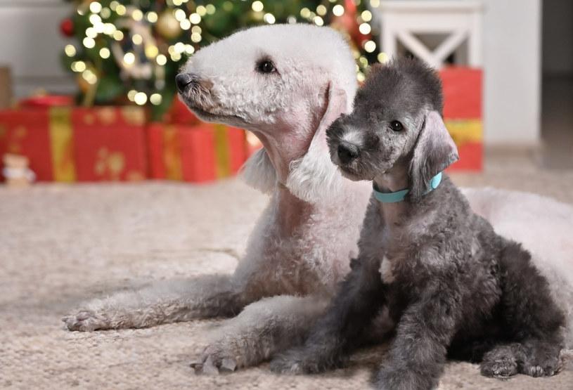 Bedlington terrier - ten duży pies z włosami niektórym przypomina owieczkę /123RF/PICSEL
