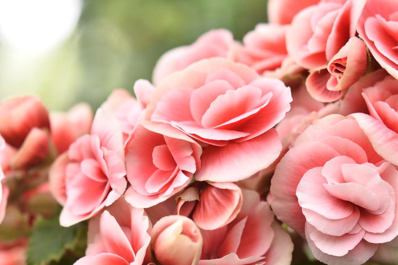 Begonia ma wiele odmian /123RF/PICSEL