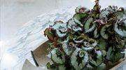 Begonia Rex -  królowa w stylu retro
