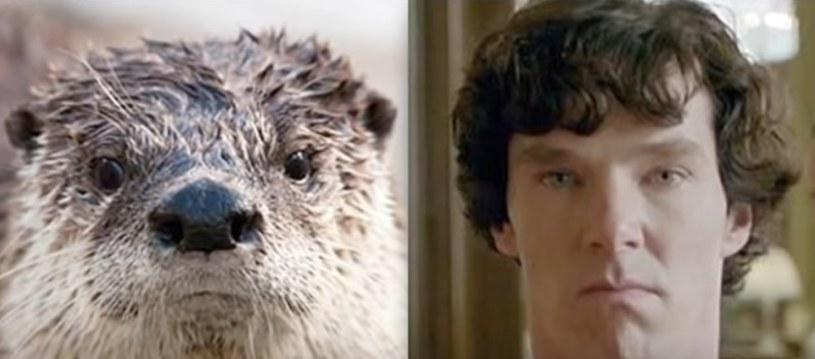 Benedict Cumberbatch jest tak doskonałym aktorem, że może zagrać co tylko zechce, nawet wydrę /YouTube