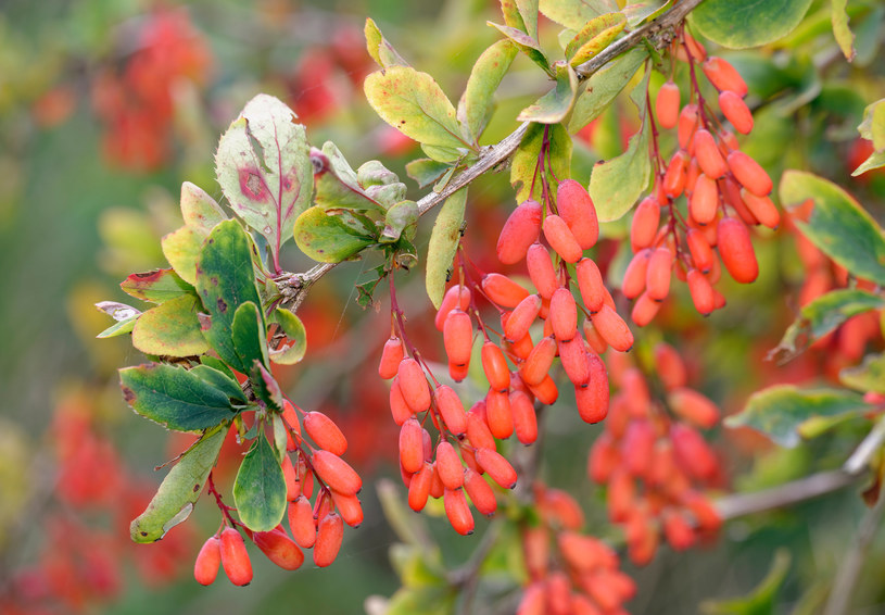 Berberys nie tylko kwitnie intensywnie, ale także wytwarza dużo owoców /123RF/PICSEL