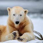 Berlińskie zoo wygrało przed sądem UE spór o niedźwiadka Knuta