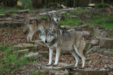 Beskidy: Wilki zagryzły owce