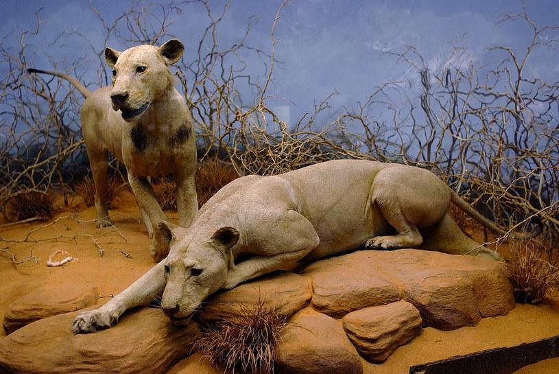 Bestie z Tsavo w Muzeum Historii Naturalnej w Chicago /materiały prasowe
