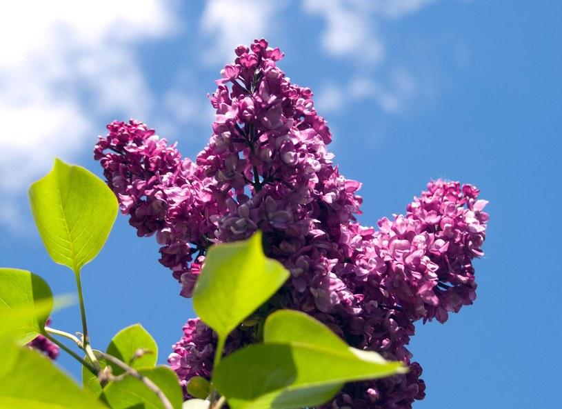 Bez to jedna z najstarszych roślin wykorzystywanych w lecznictwie, znana już w czasach antycznych /Picsel /123RF/PICSEL
