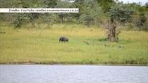 Beztroska zabawa hipopotama. Biegał za ptakami