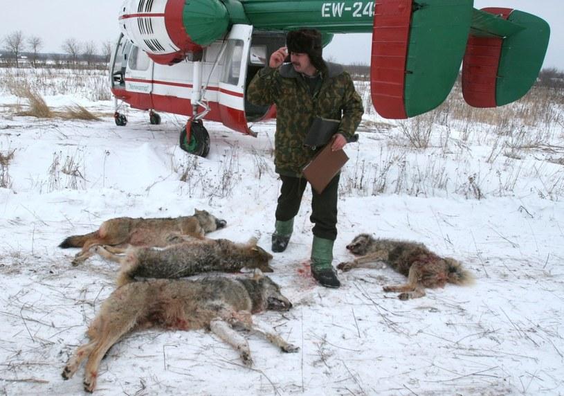 Białoruś . Strefa skażona w promieniu 30 kilometrów od reaktora w Czarnobylu . Odstrzał wilków - mutantów, napadających na okoliczne domostwa.  fot. Photoxpress /Reporter