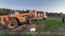 Białoruś: Żubry z Puszczy Białowieskiej zostały sprzedane Rosji