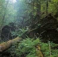 Białowieski park narodowy, wykrot świerkowy w grądzie /Encyklopedia Internautica