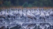 Biebrzański Park Narodowy: Zaczynają się wiosenne przeloty ptaków