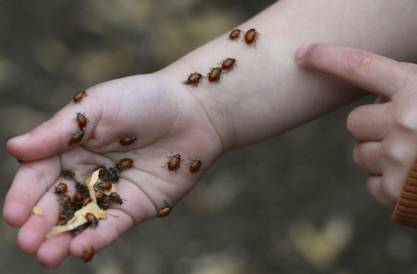 Biedronki, choć niepozorne, mogą nieźle uprzykrzyć nam codziennie życie /Getty Images