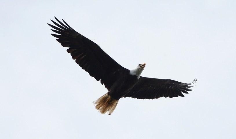 Bielik amerykański, symbol Stanów Zjednoczonych. /AFP