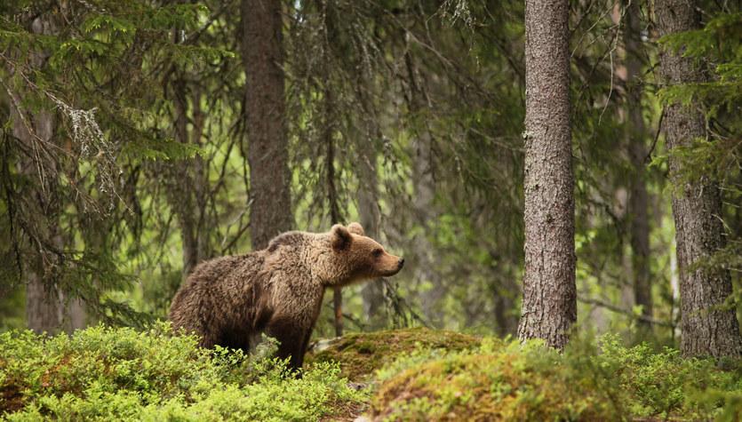 Bieszczady. Niedźwiedź spaceruje po podwórkach. Gmina chce go odstraszyć