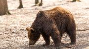 Bieszczady: Niedźwiedź zaatakował człowieka