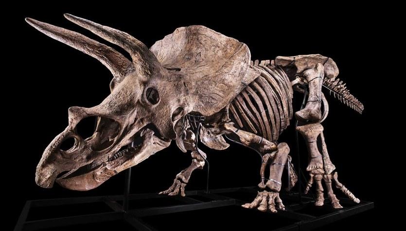 Big John - największy triceratops na świecie sprzedany za miliony euro