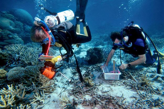 Biolog morski Carden Wallace (po lewej) z Muzeum Tropikalnej Queensland bada koralowce na Wielkiej Rafie Koralowej. (Panos Zdjęcia) /Fredrik Naumann /