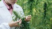 Bitwa o medyczną marihuanę wygrana. Jednak wojna nadal się toczy