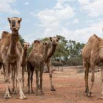 Biznesmen spod Trypolisu sprowadził 3 tys. wielbłądów z Australii