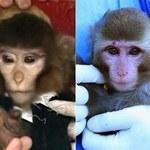Blaga Iranu - małpi astronauta nie poleciał w kosmos?