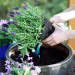 Błędy popełniane w uprawie roślin balkonowych