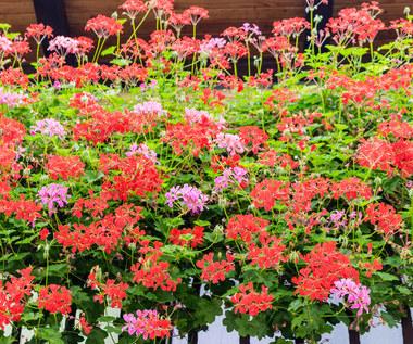 Błędy w uprawie roślin balkonowych