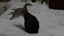 Bliskie spotkanie kotów z… krokodylem