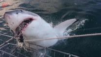 Bliskie spotkanie z żarłaczem białym. Porwał przynętę