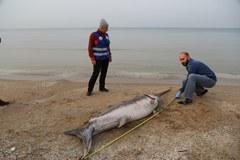 Blisko 3-metrowy miecznik znaleziony na plaży w Jantarze