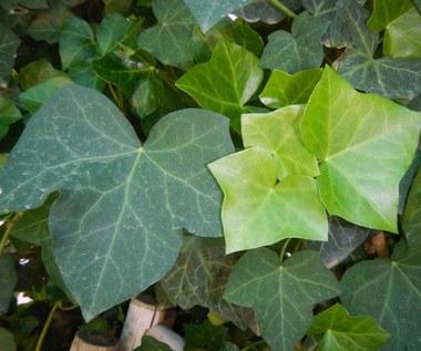 Bluszcz: Roślina, która jednocześnie może zatruć i leczyć