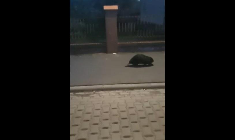 Bóbr na ulicach Gniezna, źródło: KPP Gniezno /