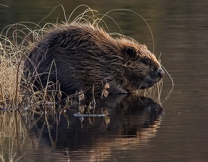 Bobry są w Polsce objęte ochroną. W Tatrach mają małe szanse, by się zadomowić /Wikimedia