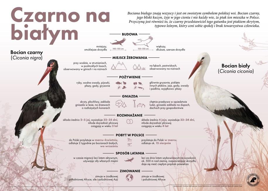Bocian czarny i bocian biały - najważniejsze różnice /Regionalna Dyrekcja Lasów Państwowych w Łodzi /Materiały prasowe
